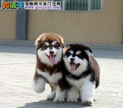 欢迎来西安正规专业犬舍购买阿拉斯加雪橇犬 保证纯种