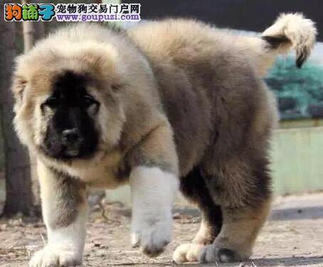 繁殖基地直销出售优质纯种大骨架熊版吐鲁番高加索犬