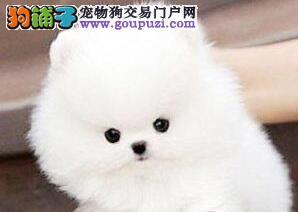 出售哈多利版球体广州博美幼犬 有问题可以电话联系