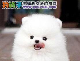 自家繁殖的济南博美犬出售 大家可随时上门看狗选购