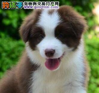 出售广州边境牧羊犬 品质保证没有后顾之忧