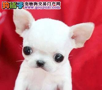 低价出售高品质保定吉娃娃幼犬 信誉保证 诚信保障