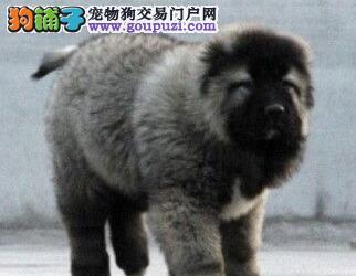 上海自家狗场出售纯种高加索犬可签订活体