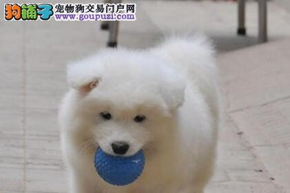 赛级广州萨摩耶犬转让 可以上门看狗