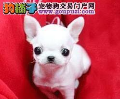 .小巧可爱的吉娃娃精灵出售啦