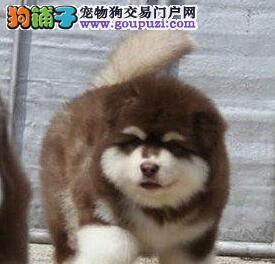 精品巨型熊版广州阿拉斯加幼犬低价出售 多种颜色