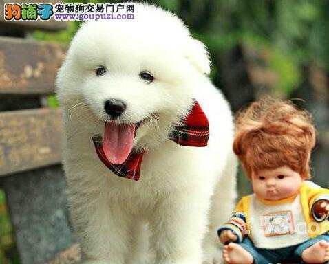 上海犬舍出售2 4月龄高端萨摩耶犬 保健康纯种售后