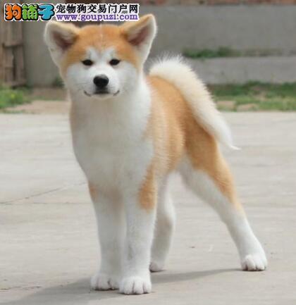 兰州实体店热卖秋田犬颜色齐全质量三包完美售后