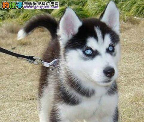 重庆出售帅气十足的哈士奇幼犬 三火蓝眼哈士奇雪橇犬
