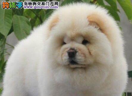 广州佛山边度有出售纯种松狮犬 松狮的价格松狮