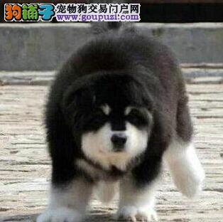 转让深圳阿拉斯加雪橇犬 已做进口疫苗保证身体健康