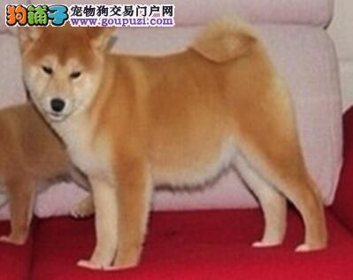 徐州培育中心出售忠诚于主人的日系秋田犬 欲购从速