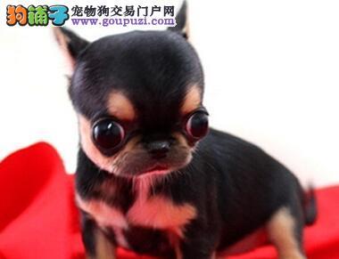 出售超小体苹果脸海口吉娃娃 非常健康放心选购