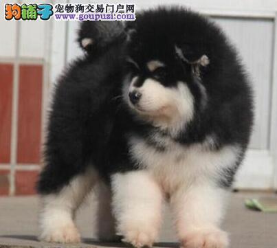 东莞低价转让纯正巨型阿拉斯加雪橇犬 可视频选狗看狗