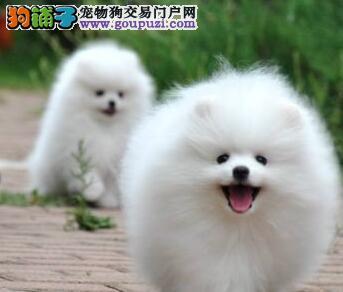 纯种博美犬宝宝昌吉州地区找主人均有三证保障