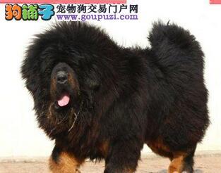 广腾犬业名犬繁殖园出售藏獒犬