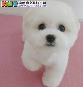 可爱卷毛纯种比熊犬上海正规犬舍促销价格出售 价格低