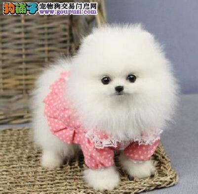 北京自家狗场繁殖出售哈多利版博美犬 可赠送狗用品