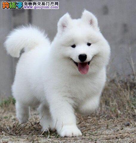 双眼皮品相好澳版品相的贵阳萨摩耶幼犬 签订购犬协议