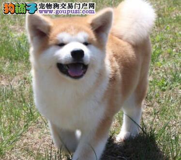 出售南通秋田幼犬 方便的话您可以直接上门来挑选