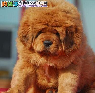 CKU认证犬舍 专业出售极品 藏獒幼犬价格美丽非诚勿扰