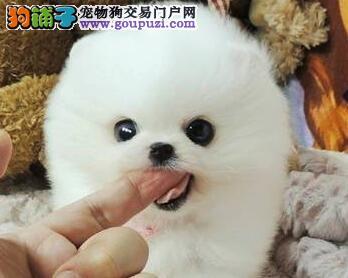 出售顶级优秀哈多利版成都博美犬 可签订质保协议书