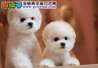 出售自家繁殖的比熊犬 仅限南通爱狗人士购买