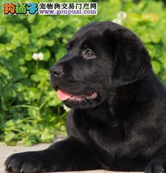 深圳哪里有卖拉布拉多 拉布拉多小狗多少钱