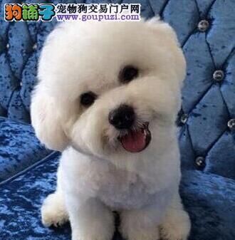 出售四窝精品卷毛杭州比熊犬 公母均有 先到先得