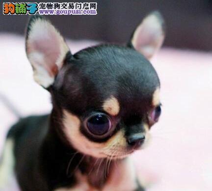 转让纯种墨西哥上海吉娃娃幼犬 欢迎大家上门选购