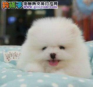 杭州繁殖基地特价直销纯种博美幼犬 爱狗人士优先选购