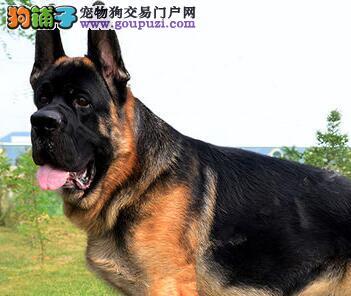 极品弓形锤系大头北京德国牧羊犬直销 售后服务好