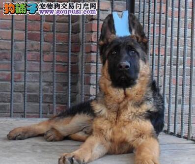 南京出售出生8个月零7天的德国牧羊犬9只(5公/4母)