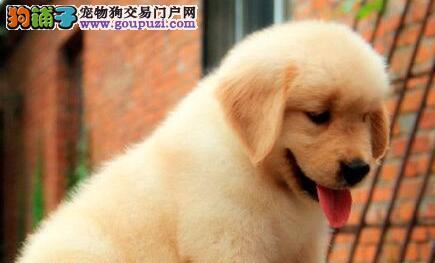 金黄色的东莞金毛犬低价出售 品相极佳 终身售后服务