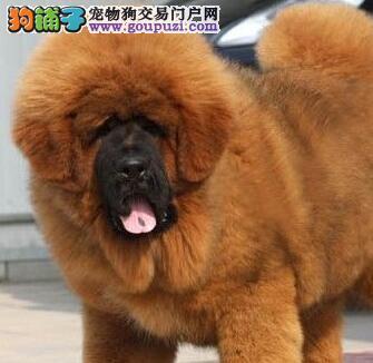 海口藏獒幼犬打折促销 大狮头铁头包金 免费饲养指导