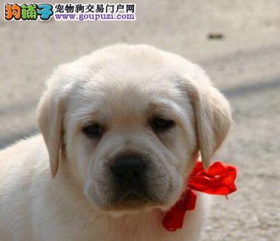 海口拉布拉多犬低价促销 颜色齐全 公母均有