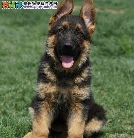 赛级品相德国牧羊犬幼犬低价出售可签合同刷卡