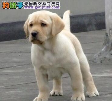 咸阳实体店出售精品拉布拉多保健康爱狗人士优先狗贩勿扰