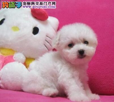 重庆哪里有卖比熊重庆比熊好多钱重庆卖比熊的在哪里