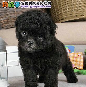 高品质贵宾犬带血统出售 终身质保 质量三包 可签协议