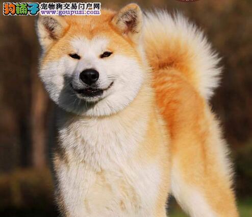 毛色纯正身体健康的贵阳秋田犬找新家 放心选购爱犬
