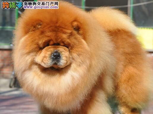 广州大头肉嘴松狮犬火爆预定中 品相好毛量足 欲购从速