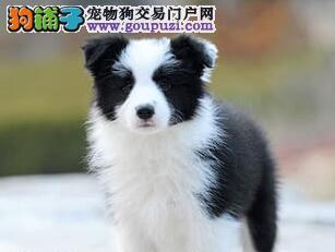 纯种健康的广州边境牧羊犬疯狂热卖中 完美售后服务