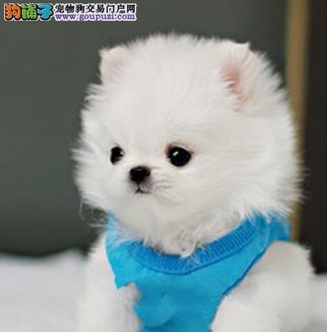 出售哈多利球体广州博美幼犬 可爱至极 全方位售后服务