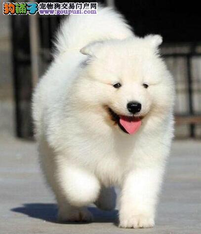 犬舍直销精品兰州萨摩耶 欢迎上门选购 可见种犬
