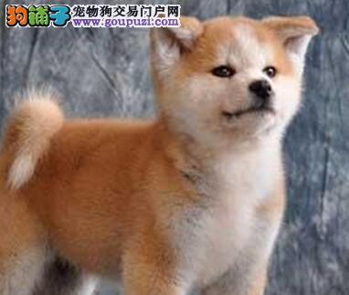 精品日系秋田犬犬舍直销 来贵阳购买可享受优惠价