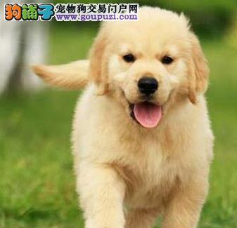 出售自家温顺忠诚稳重的兰州金毛犬 完美体型