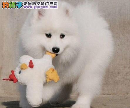 西安自家狗场繁殖直销萨摩耶幼犬签订协议包细小犬瘟热
