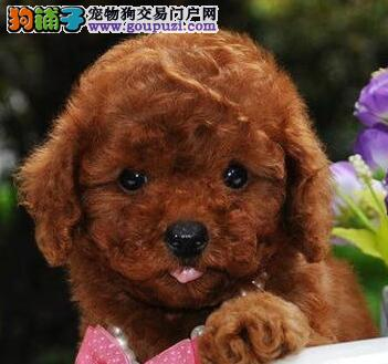 转让纯正血统深红色的绍兴泰迪犬 可送货上门供您挑选