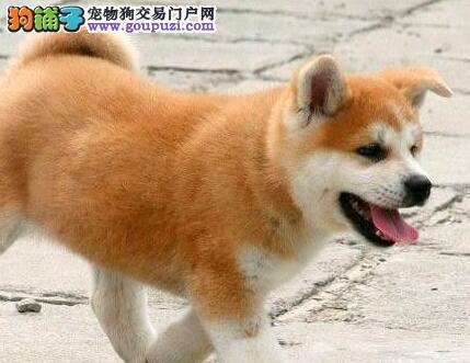 大连养殖基地出售活泼可爱毛色纯正的多只日系秋田犬